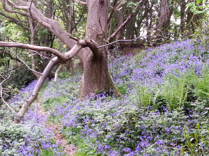Marchamley Bluebells and Tree